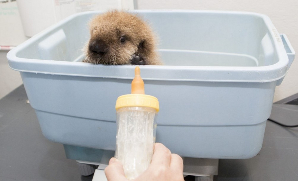 otter Pup 681